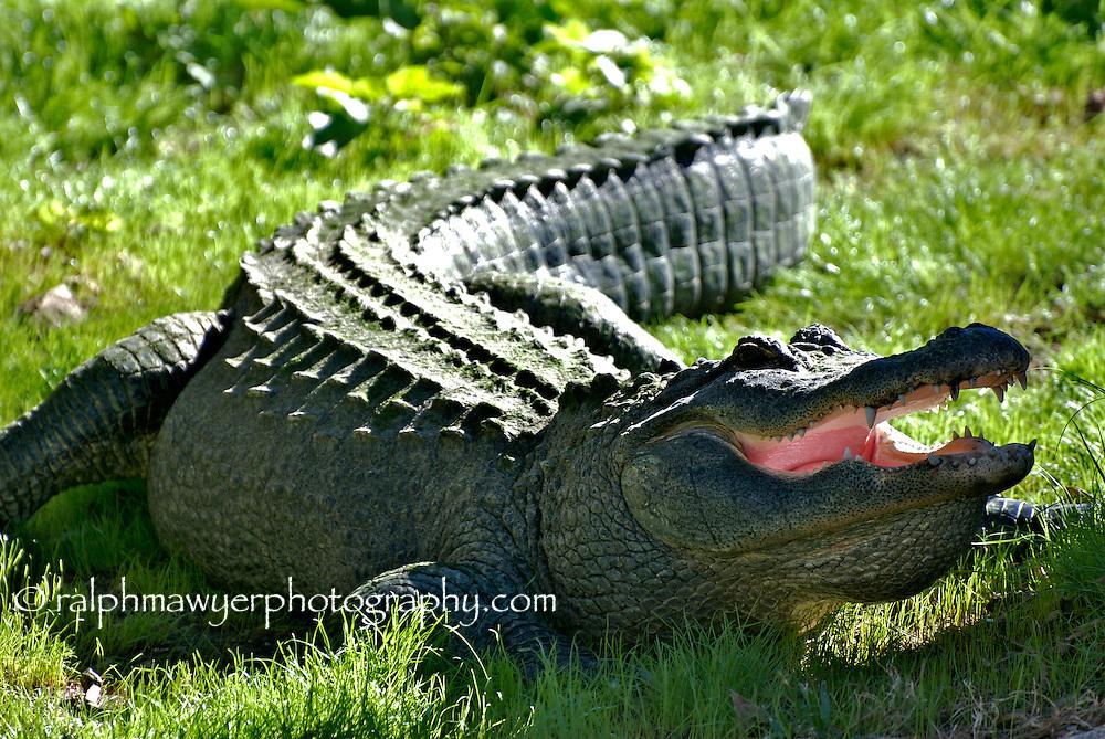 American alligator relaxing at the San Antonio Zoo, Texas.