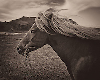 Icelandic Horse Eating Grass on Heimaey Island Vestmannaeyjar (Westman) in Iceland. Image taken with a Leica X2 camera (ISO 100, 24 mm, f/4, 1/640 sec). Conversion to monochrome with Google/Nik Silver Efex Pro. Nikonians Iceland Photo Adventure.