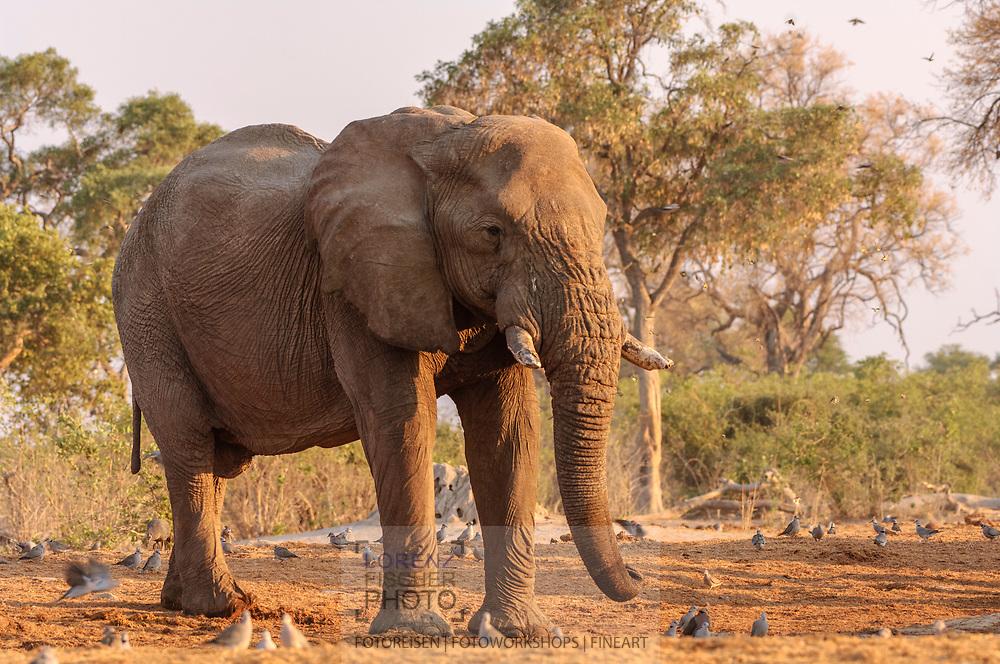 Impressionen  mit Elefanten-Bullen aus der Region Savuti im Chobe Nationalpark