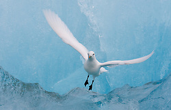 Ivory Gull (Paophila eburnea) in blue ice at Spitsbergen, Svalbard