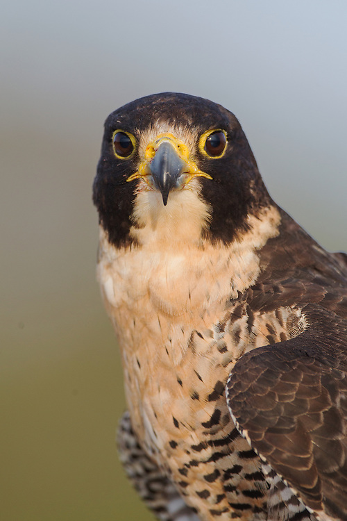 Stock photo of captive peregrine falcon.  These falcons catch medium sized birds in the air with spectacular dives.