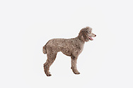 Standard poodle standing in profile on a white background