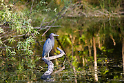 Little Blue Heron, Egretta caerulea, Everglades, Florida, USA