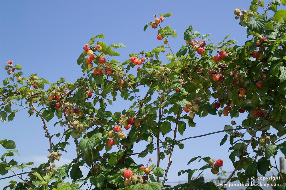 Raspberry 'Octavia' trained on wires - Rubus idaeus