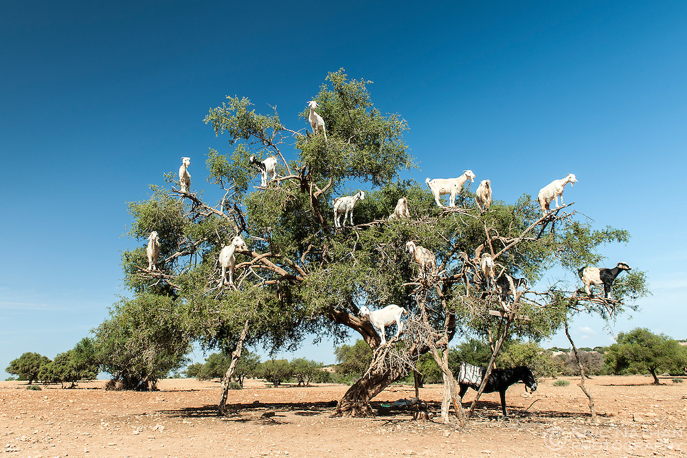 Goats in a tree on the Marrakech to Essaouira road in Morocco.
