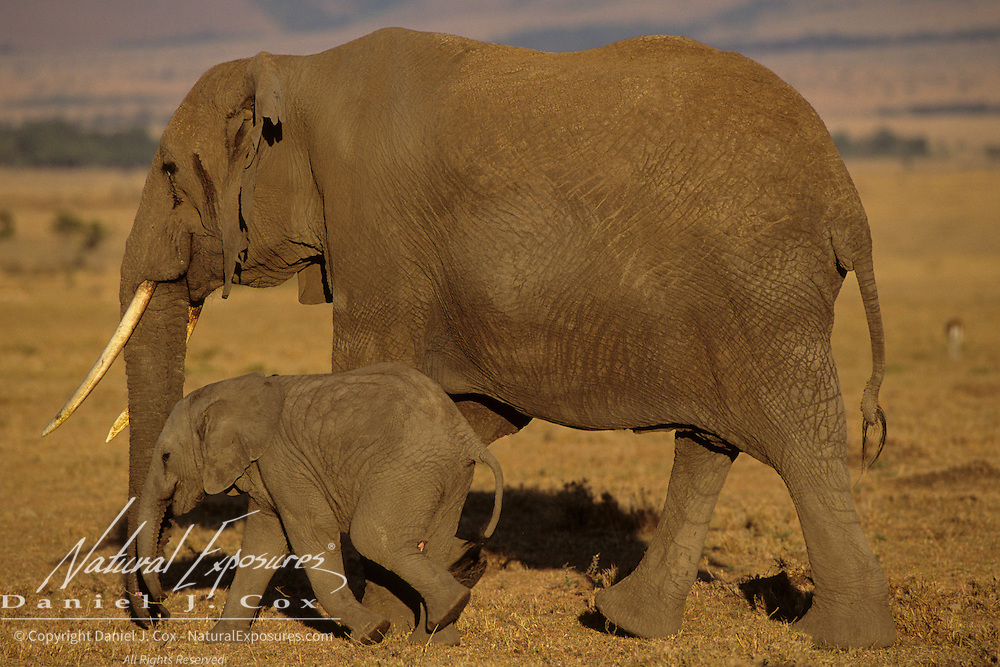 African Elephant (Loxodonta africana) mother and baby. Serengeti Plains, Masai Mara National Reserve, Kenya. Africa