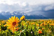 A balsom root bloom, the earliest wildflower of Grand Teton National Park as well as most to the Rocky Mountains. <br /> <br /> The limited depth of field was purposeful to put full focus on the flower de-emphasize the jagged peaks beyond.