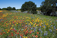 Thelesperma, Indian Blankets and Bluebonnets, Burnet County, Texas