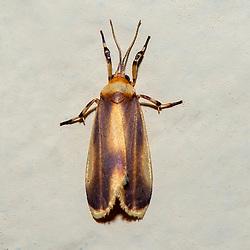 """""""Mariposa (Lepidoptera) fotografado em Linhares, Espírito Santo -  Sudeste do Brasil. Bioma Mata Atlântica. Registro feito em 2013.<br /> <br /> <br /> <br /> ENGLISH: Moth photographed in Linhares, Espírito Santo - Southeast of Brazil. Atlantic Forest Biome. Picture made in 2013."""""""
