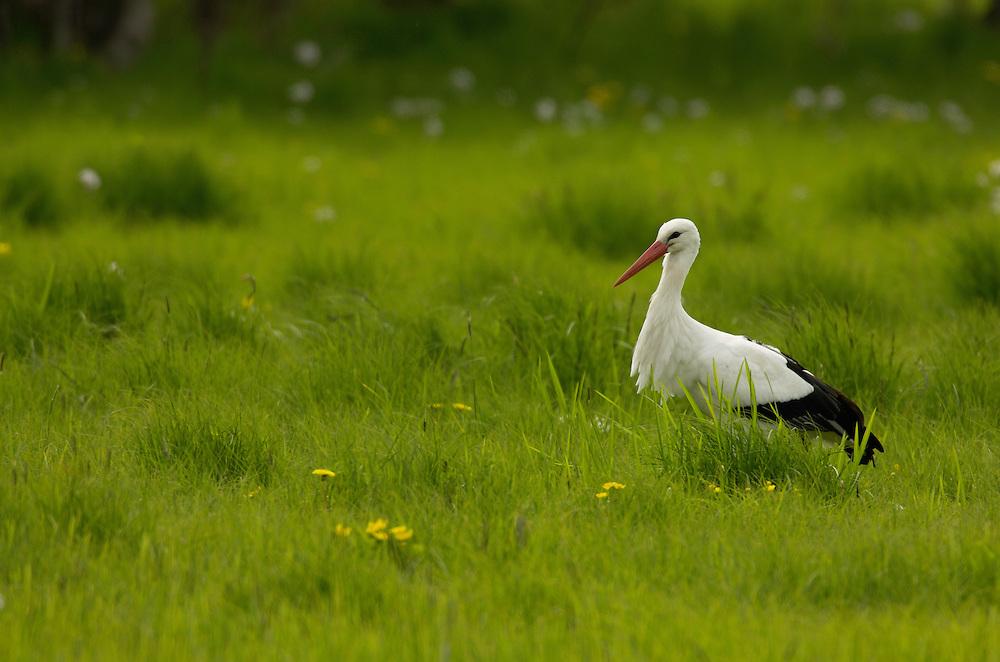 White Stork (Ciconia ciconia), Spring time in Skane; Kristianstad Vattenrike, Skåne, Sweden