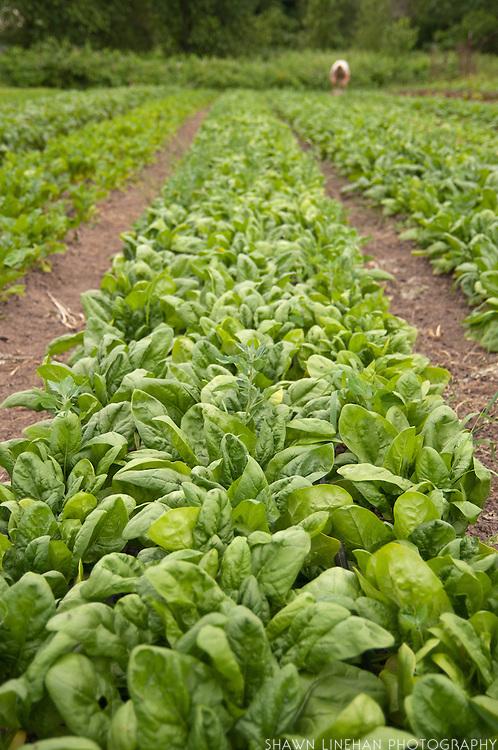 Vertical horizontal shot of vegetable field.