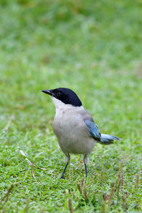 Azure-winged Magpie, Cyanopica cyanus, sitting on grass in the East Lake Greenway park, Wuhan, Hubei, China