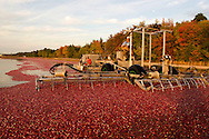 Kevin Ritter, 38 (Red shirt) and Herb Armstrong, 56, (Driving the harvesting machine) working at Lee Brothers, Inc. (The Lee Brothers Farm) harvesting cranberries  in Chatsworth, NJ, known locally as the capital of the Pinelands region..October 13 -14, 2008  .