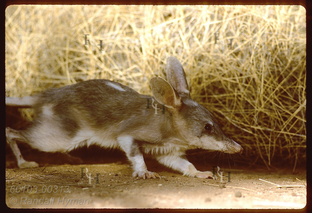 Rabbit-eared bandicoot, or bilby, creeps along spinifex grass in pen; Conserv Commssn of NT/Alice Australia