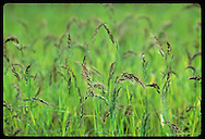 Close view of red rice, a weed that grows amid commercial rice causing losses for farmers; RS. Brazil