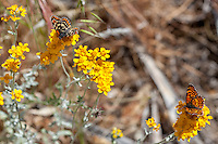 Leanira Checkerspot + Gabb's Checkerspot