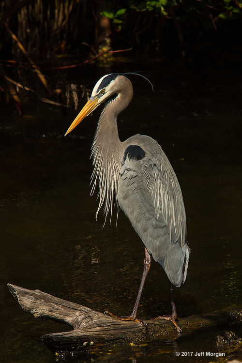Great Blue Heron in breeding plumage in the swamp at Ding Darling National Wildlife Refuge, Sanibel, Florida.