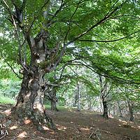 Hetre commun, Fagus silvatica, parc national de central balkan