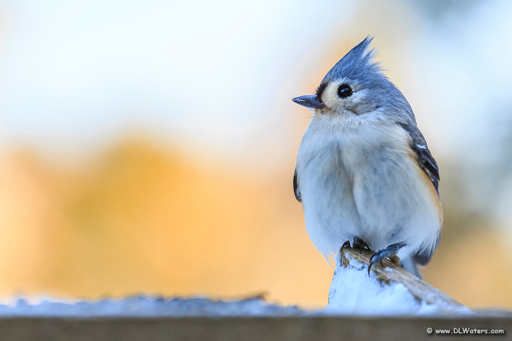 A Tufted Titmouse visit's a winter bird feeder.