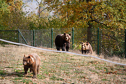 ROMANIA ZARNESTI 27OCT12 - Rescued Eurasian brown bears Jimmy and Jexy meet new playmates at the Zarnesti Bear Sanctuary in Romania, funded by WSPA...With over 160 acres (70 hectares) spread over a wooded hillside, it is Romania's first bear sanctuary and today houses 67 bears rescued from ramshackle zoos and cages at roadside restaurants.......jre/Photo by Jiri Rezac / WSPA..© Jiri Rezac 2012