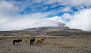 Wild horses graze the grasslands below Cotopaxi volcano in Ecuador, one of the highest active volcanoes in the world.