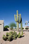 Suburban Saguaro, Phoenix, Arizona