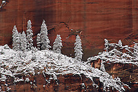 Snow covered trees on rock ledge in Zion Canyon in spring; Zion NP., UT