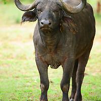 Cape buffalo with an aggressive expression on his face Serengeti National Park Tanzania.