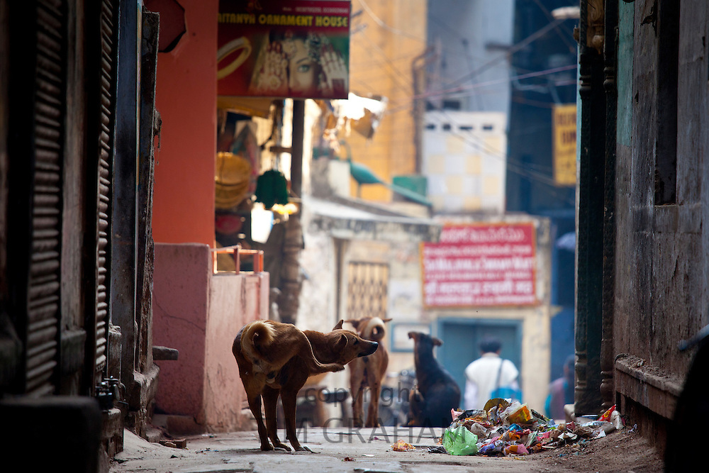 Street dogs in alleyway in the holy city of Varanasi, Benares, Northern India