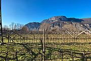 Teroldego grape vineyards in Mezzolombardo, Italy