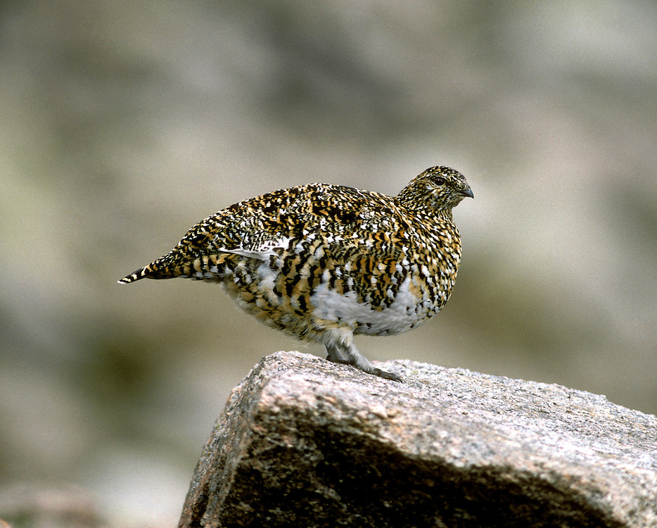 Ptarmigan Lagopus mutus L 34-36cm. Hardy, mountain gamebird. Indifferent to observers but easily overlooked: unobtrusive and blends in well with surroundings. In flight, both sexes reveal white wings and black tail. Forms small flocks outside breeding season. Sexes are separable with care. Adult male in winter is white except for dark eye, lores and bill. In spring and summer, has mottled and marbled greyish buff upperparts, amount of white on back decreasing with time; belly and legs are white while striking red wattle fades by mid-summer. Adult female in winter is white except for black eye and bill. In spring and summer, has finely barred buffish grey upperparts; extent of white on back diminishes with time. Juvenile resembles uniformly brown female. Voice Utters a rattling kur-kurrrr call. Status Confined to Scottish Highlands, favouring rocky ground with lichens, mosses and other mountain vegetation.
