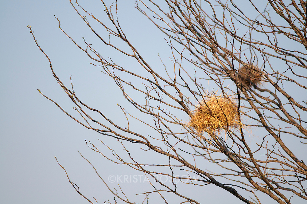 Sparrow-weaver nests in South Luangwa National Park, Zambia.