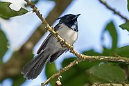 Crested Flycatchers & Monarchs