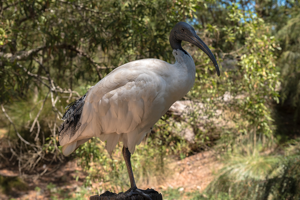 A Sacred Ibis is perched on top of a fence post.