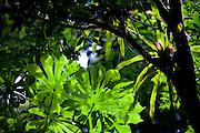Volta Redonda_RJ, Brasil.<br /> <br /> Floresta de Cicuta em Volta Redonda, Rio de Janeiro. <br /> <br /> Cicuta Forest in Volta Redonda, Rio de Janeiro. <br /> <br /> Foto: JOAO MARCOS ROSA / NITRO