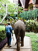 Mahout and his baby elephant walking the grounds  of Anantara Golden Triangle resort.