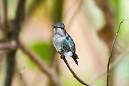 Bee Hummingbird (Mellisuga helenae), male in non-breeding plumage, perched. Guanahacabibes Peninsula, Cuba.