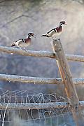 Wood Ducks, Aix sponsa, Churchill County, Nevada