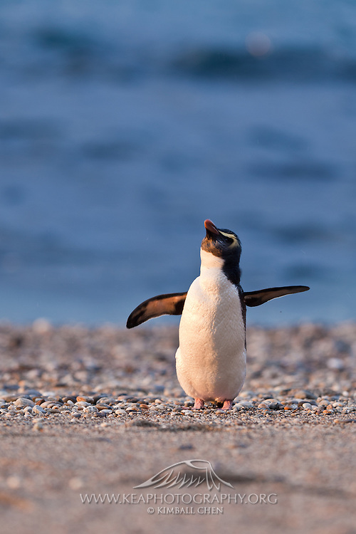 With flippers outstretched, this little Fiordland Crested Penguin dreams of flying one day!  Munro Beach, New Zealand