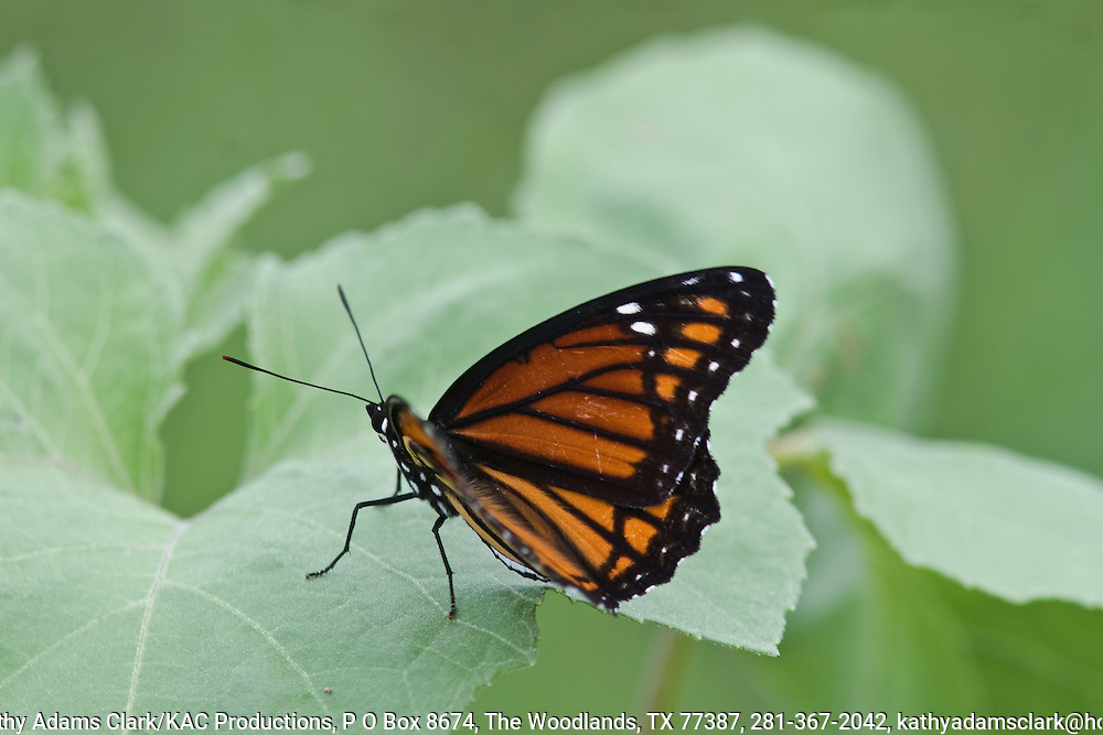 Viceroy (Limenitis archippus) and other colorful butterflies are attracted to the natural  vegetation around Calaveras and Brauning Lakes south of San Antonio, Texas.