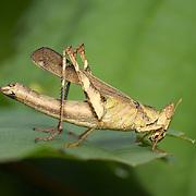 Spot Monkey-grasshopper - Eumastacidae Erianthus serratus. Chaloem Phrakiat Thai Prachan National Park, Thailand.