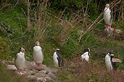 A group of yellow-eyed penguins (Megadyptes antipodes), also known as Hoiho, preen themselves as they march up the hillside to their colony at Nugget Point in the Catlins at the southern tip of the South Island of New Zealand. Yellow-eyed penguins are endangered and are one of the most rare penguins in the world with a total population of only about 4,000. About 90 percent of the yellow-eyed penguin's diet consists of fish. During the breeding season, many of the penguins spend the entire day hunting in the ocean. They enter the Pacific Ocean at dawn and return at dusk, venturing as far as 25 kilometers (16 miles) offshore and diving to depts of up to 120 meters (394 feet).