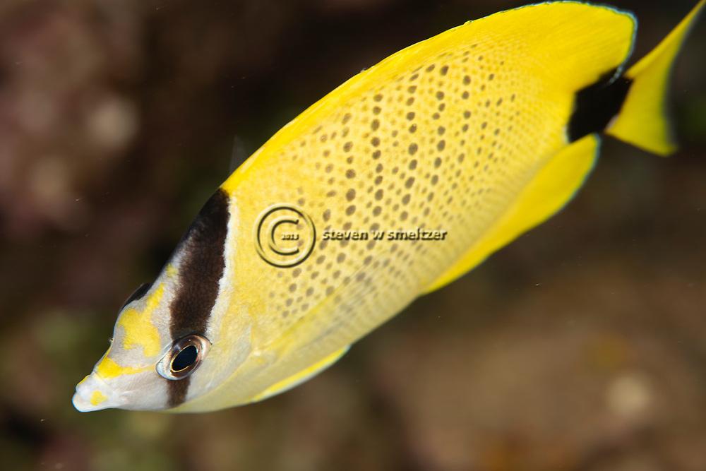 Milletseed Butterflyfish, Chaetodon miliaris, Quoy & Gaimard, 1824, Maui, Hawaii
