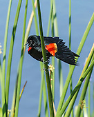 WETLAND MARSH: BIRDS