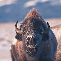 Bison bison, winter buffalo on the prairie rocky mountains montana