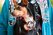 17 OCTOBER 2011 - PHOENIX, AZ:   PATTY, a Chihuahua dog, wears a 99% button during the Occupy Phoenix protest in Phoenix, Monday. About 40 people spent Sunday night on the sidewalks around the Cesar Chavez Plaza in Phoenix, AZ, the defacto headquarters of the Occupy Phoenix protest. Early Monday morning they got up to continue their chants and protests against Wall Street, the growing income gap between rich and poor in the US, and money in politics. Monday marks the third day of Occupy Phoenix.  PHOTO BY JACK KURTZ