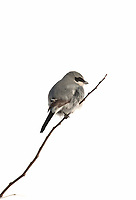 A Loggerhead Shrike in January perched on a branch watching over a snowy field.