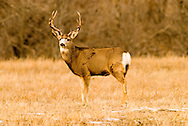 Mule Deer Buck, (Odocoileus hemionus), Paradise Valley, south of Livingston, Montana