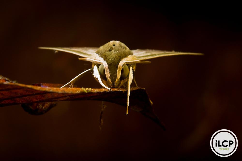 Hawk Moth (Pergesa sp), Tawau Hills Park, Sabah, Borneo, Malaysia