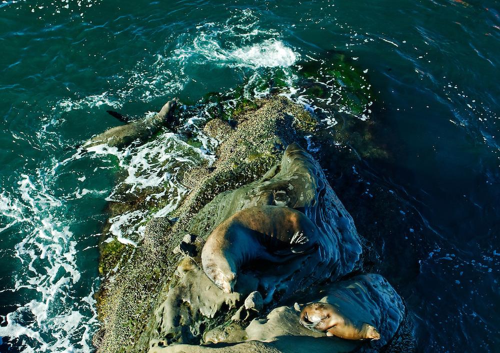 California, San Diego, La Jolla, harbor seals  (Phoca vitulina)  lying on rock by sea La Jolla Cove Beach